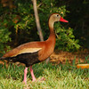 Black-bellied Whistling-Duck (Dendrocygna autumnalis) South Padre Island TX