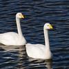 Whooper Swan (Cygnus cygnus) Rausu, Hokkaido, Japan
