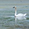 Trumpeter Swan (Cygnus buccinator) Wolf Lake, Windom MN
