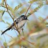 Black-tailed Gnatcatcher (Polioptila melanura) Phoenix AZ