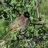 Red-eyed Bulbul (Pycnonotus brunneus) Etosha NP, Namibia