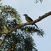 Swamp Palm Bulbul (Thescelocichla leucopleura) Nsutu Forest, Ghana