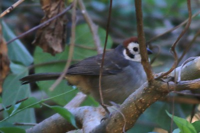 Sparrows and Finches