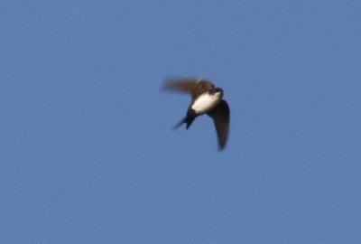 Black-headed Swallow
