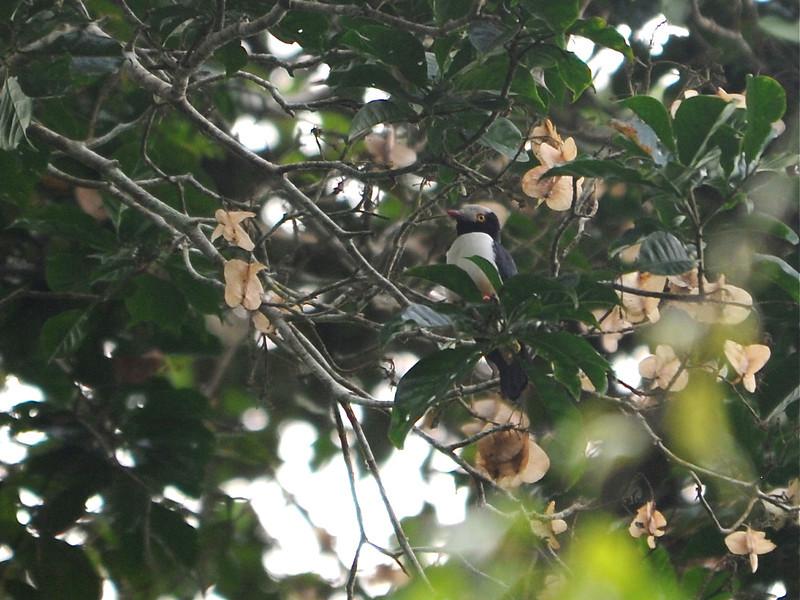 Red-billed Helmetshrike (Prionops caniceps) Nsutu Forest, Ghana