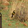 Bokmakierie (Telophorus zeylonus) Suikersborand Nature Preserve, South Africa