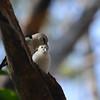 White-headed Vanga (Artamella viridis) Ankarafantsika NP, Madagascar