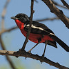 Crimson-breasted Gonolek (Laniarius atrococcineus) Etosha NP, Namibia