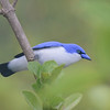 Blue Vanga (Cyanolanius madagascarinus) [Comoro Blue Vanga (Cyanolanius comorensis)] Famboni, Moheli, Comoros