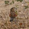 Black-crowned Tchagra (Tchagra senegalus) Selous Game Reserve, Tanzania