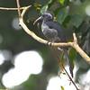 Black Dwarf Hornbill (Tockus hartlaubi) New Brekku Forest, Ghana