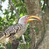 Southern Yellow-billed Hornbill (Tockus leucomelas) Krueger NP, South Africa