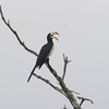 African Pied Hornbill (Tockus fasciatus), Kakum National Park, Ghana