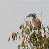 African Gray Hornbill (Tockus nasutus) Murchison Falls NP, Uganda