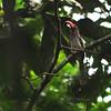 Red-billed Dwarf Hornbill (Tockus camurus) Nsutu Forest, Ghana