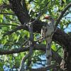 Damara Red-billed Hornbill (Tockus damarensis) Etosha NP, Namibia