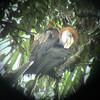 Black-casqued Hornbill (Cerotogymna atrata) Korup NP, Cameroon