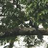White-crested Hornbill (Tropicranus albocristatus) Ankasa Forest and Reserve, Ghana