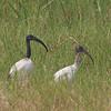Sacred Ibis (Threskiornis aethiopicus) Murchison Falls NP, Uganda