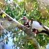 Madagascar Ibis (Lophotibis cristata) Ankarafantsika, Madagascar