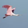 Roseate Spoonbill (Ajaia ajaja) Ding Darling NWR, Sannibel Island, FL