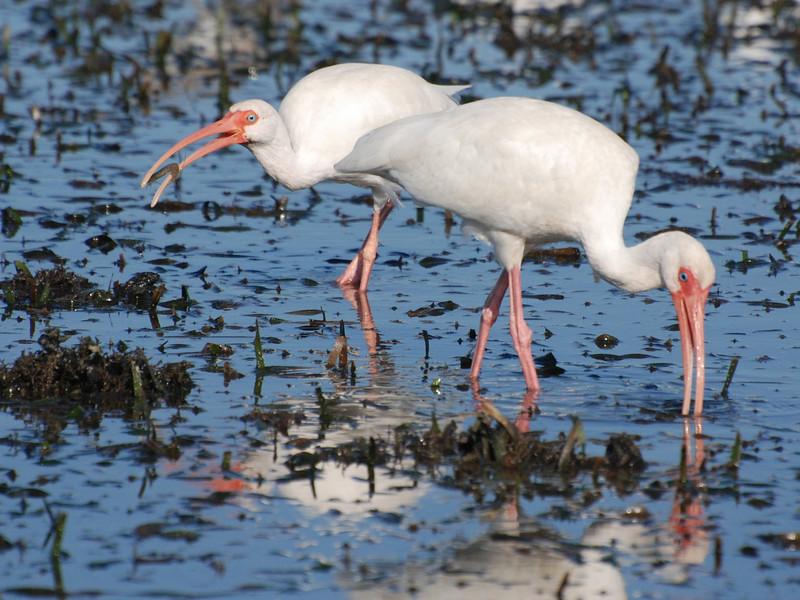 White Ibis (Eudocimus albus) Sannibel Island FL