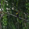 Oriole Blackbird (Gymnomystax mexicanus) Tingana Reserve, Peru