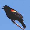 Red-winged Blackbird (Agelaius phoeniceus) McKenzie Slough, ND