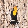 Yellow-headed Blackbird (Xanthocephalus xanthocephalus) McKenzie Slough, ND