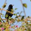 Melodious Blackbird (Dives dives) Cerro el Picacho, Honduras