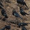 Tricolored Blackbird (Agelaius tricolor) Moss Landing CA
