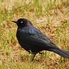 Brewer's Blackbird (Euphagus cyanocephalus) Long Lake NWR, ND