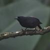Jamaican Blackbird (Nesopsar nigerrimus) Hardwar Gap, Saint Andrew, Jamaica