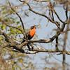 Peruvian Meadowlark (Sturnella bellicosa) Chappari Reserve, Peru
