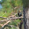 Rusty Blackbird (Euphagus carolinus) Alligator River NWR, NC