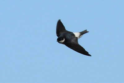 Martins and Swallows