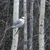 Gray Jay (Perisoreus canadensis) Riding Mountain NP, Manitoba, Canada