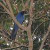 Black-throated Jay (Cyanolyca pumilo) La Tigra NP, Honduras