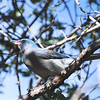 Mexican Jay (Aphelocoma ultramarina) Mediera Canyon, Santa Rita Mountains AZ