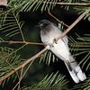 Brown Jay (Psilorhinus morio) caught sleeping while owling at Pico Bonito, Honduras