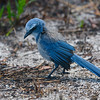 Florida Scrub Jay (Aphelocoma coerulescens) Jonathan Dickinson SP, FL