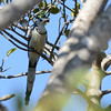 White-throated Magpie-Jay (Calocitta formosa) iANP Canyon del Sumedero, Chiapas