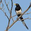 Yellow-billed Magpie (Pica nuttalli) Stockton CA