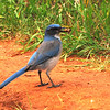 Western Scrub-Jay (Aphelocoma californica) Colorado Springs CO