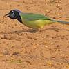Green Jay (Cyanocorax yncas) Raymondville TX