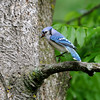 Blue Jay (Cyanocitta cristata) Orr, MN