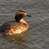 Horned Grebe (Podiceps auritus) Long Lake NWR, ND