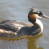Great-crested Grebe (Podiceps cristatus), Amsterdam, the Netherlands.