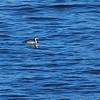 Arctic Loon (Gavia arctica) Hokkaido, Japan