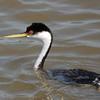 Western Grebe (Aechmophorus occidentalis) Long Lake NWR, ND